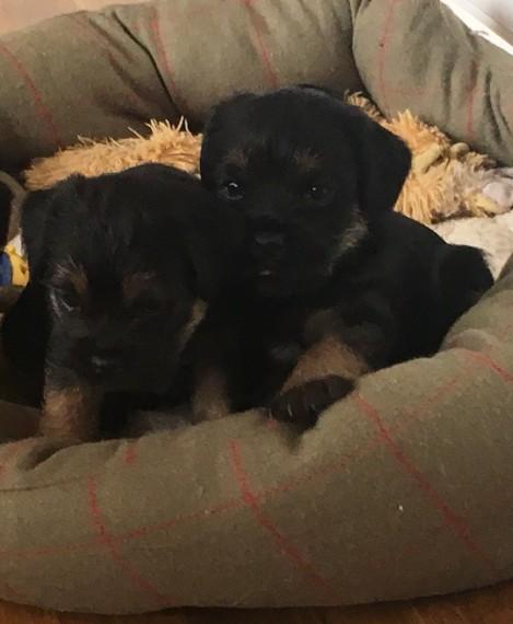 Impresionante kc registed border terrier cachorros
