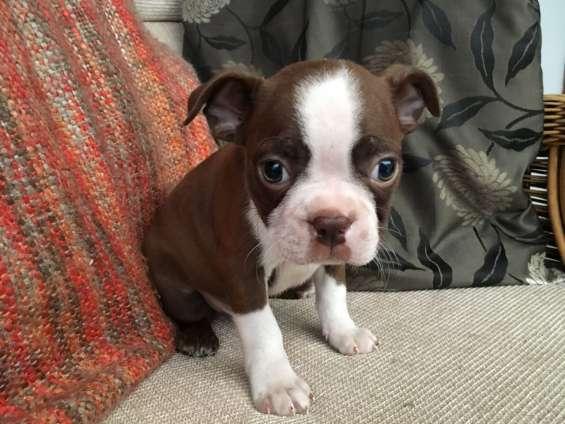 Kc boston terrier cachorros