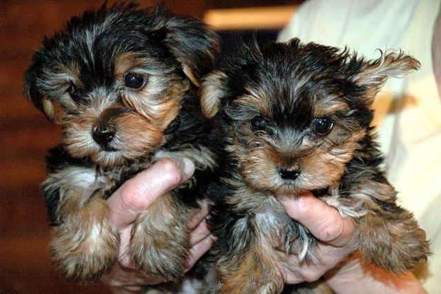Bonito cachorritos de yorkie macho y hembra