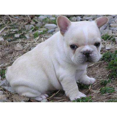 Bulldog inglés hembra totalmente blanca.