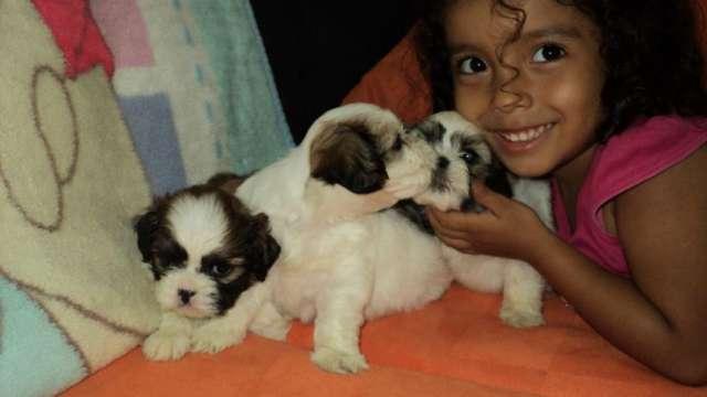 Cachorro shitzu urge adopcion