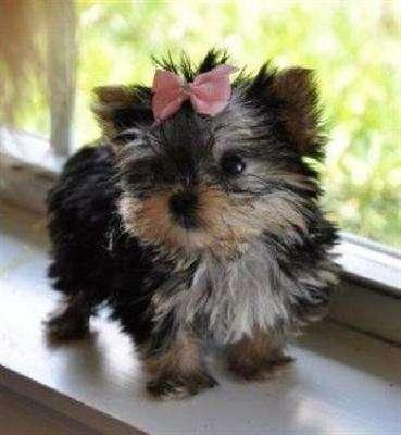 Cachorros de yorkshire terrier toy muy bonitos