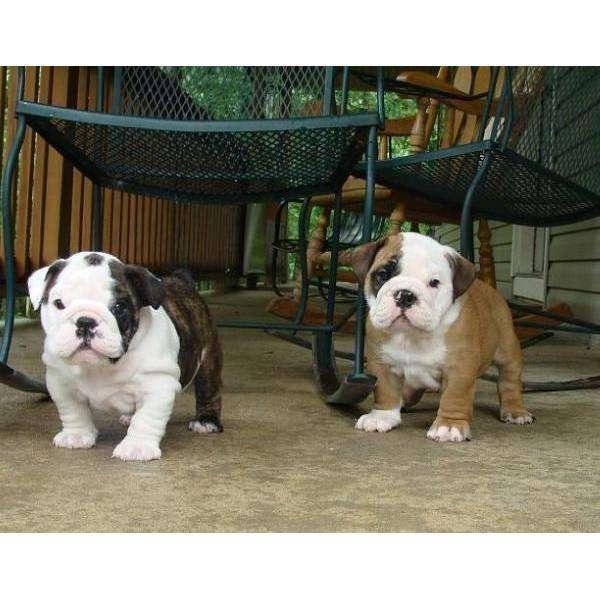 Venta de perritos bulldog ingles macho y hembra