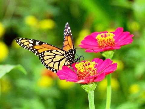 Venta de mariposas para eventos