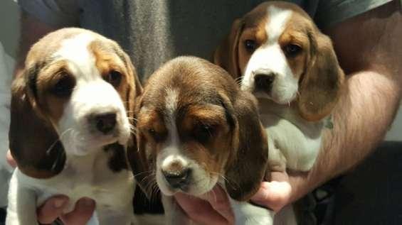 Beagles que se agrietan