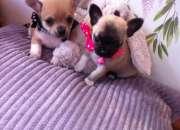 Cachorros Chihuahua ahora disponibles
